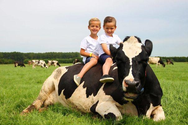 Серьёзно? 25 фото, доказывающих, что коровы – просто большие собаки! :) рис 23
