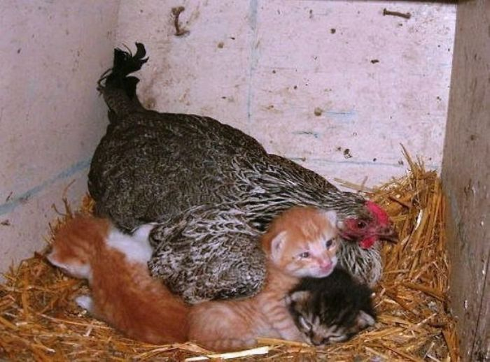 Универсальные мамочки! :) Эти курочки готовы заботиться обо всех брошенных детках без исключения! )) рис 3