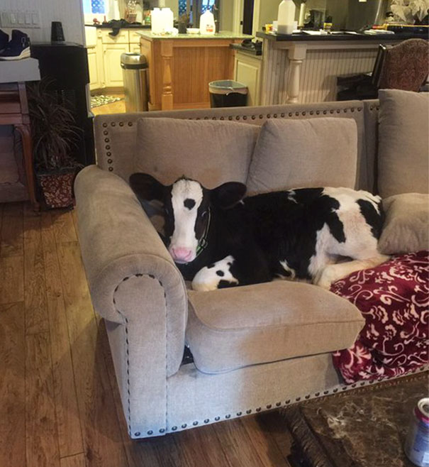 Серьёзно? 25 фото, доказывающих, что коровы – просто большие собаки! :) рис 3