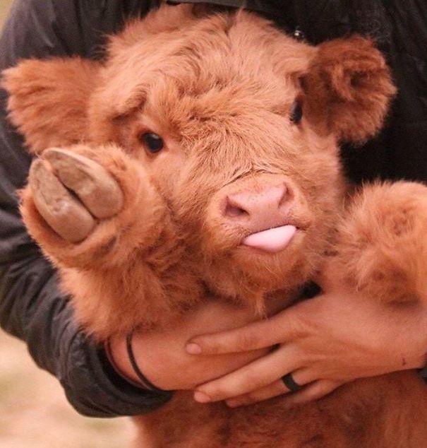 Серьёзно? 25 фото, доказывающих, что коровы – просто большие собаки! :) рис 4
