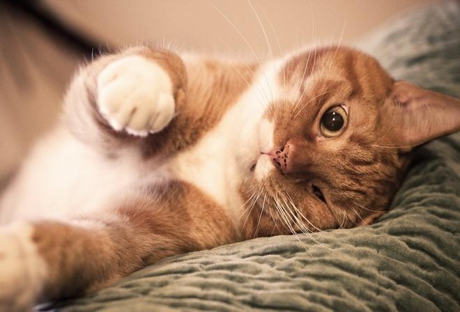 Определяем настроение по направлению усов! Новые интересности про наших любимых кошек :) рис 9