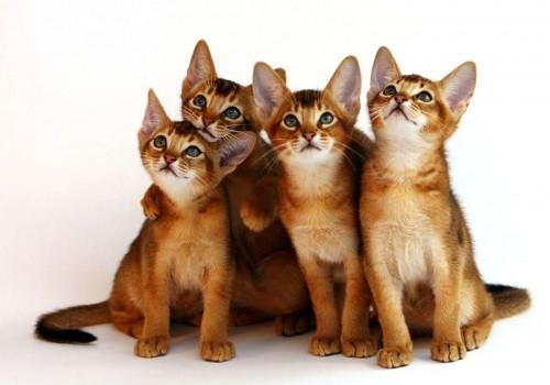 Абиссинская кошка: порода, принадлежащая фараонам рис 3