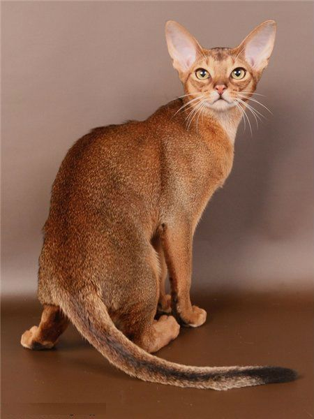 Абиссинская кошка: порода, принадлежащая фараонам рис 5