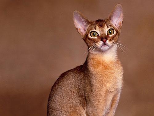 Абиссинская кошка: порода, принадлежащая фараонам