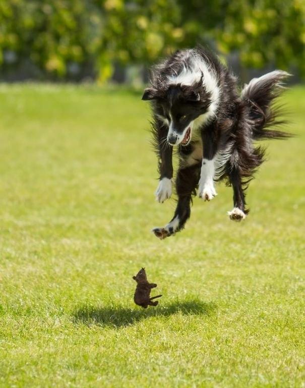 Коварное нападение кабачка на корги! 13 самых смешных фото о том, чего боятся собаки!)