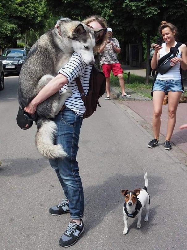 Коварное нападение кабачка на корги! 13 самых смешных фото о том, чего боятся собаки!) рис 10