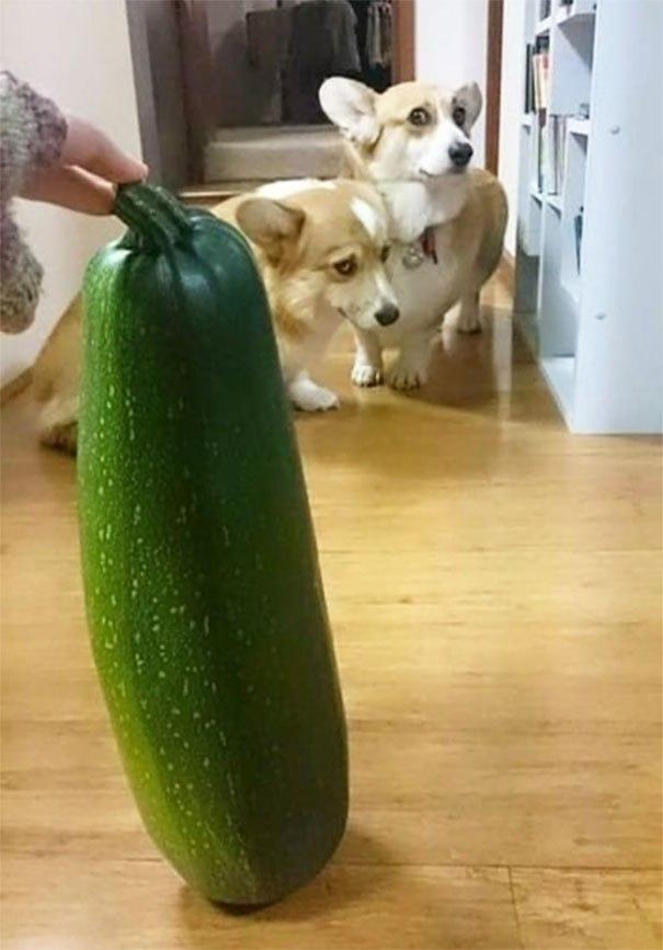 Коварное нападение кабачка на корги! 13 самых смешных фото о том, чего боятся собаки!) рис 8