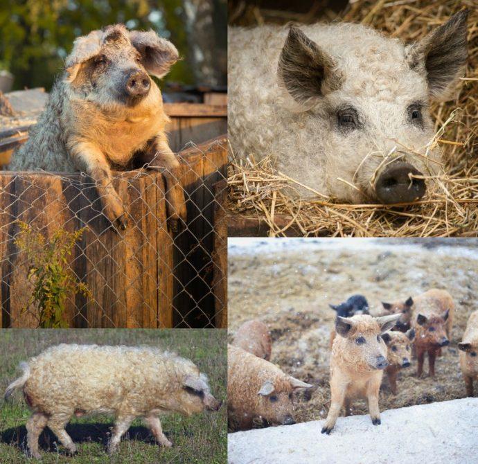 Кудрявая свинка, кудрявая птичка однажды сходили в салон красоты... 6 самых необычных кучерявых зверей!) рис 2