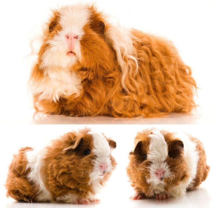 Кудрявая свинка, кудрявая птичка однажды сходили в салон красоты... 6 самых необычных кучерявых зверей!) рис 4