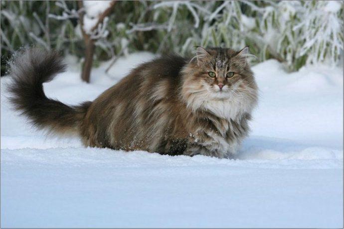 Норвежская лесная кошка (Norwegian Forest Cat) 2