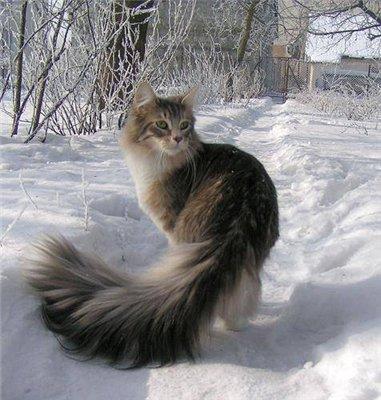 Норвежская лесная кошка (Norwegian Forest Cat) 3
