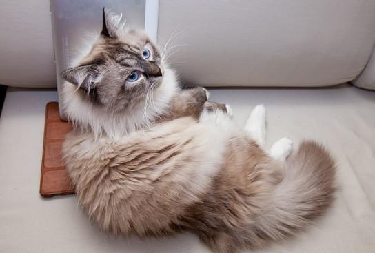 Определяем настроение по направлению усов! Новые интересности про наших любимых кошек :) рис 11