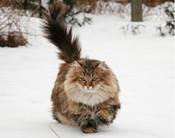 Норвежская лесная кошка (Norwegian Forest Cat) 5