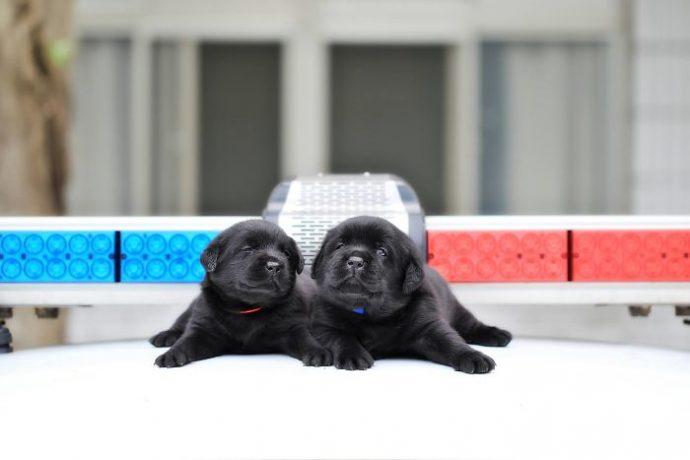 Уморительные малыши лабрадора с пеленок учатся нас защищать! Щенята на страже порядка :)