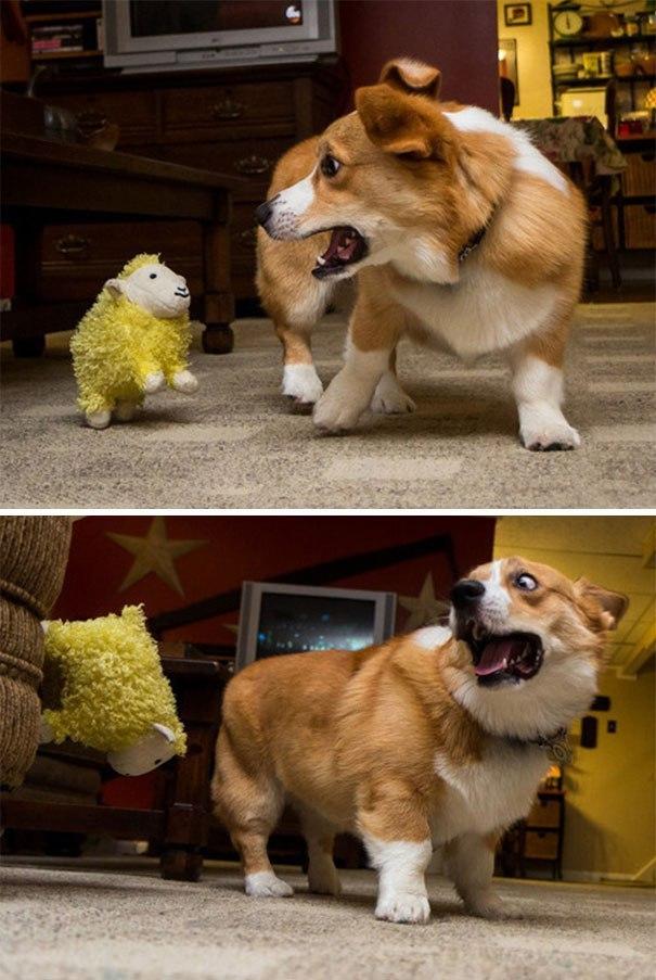 Коварное нападение кабачка на корги! 13 самых смешных фото о том, чего боятся собаки!) рис 3