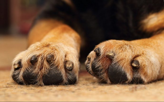 swollen-paws-in-the-dog-causes-and-treatment-5523bbb87c17f
