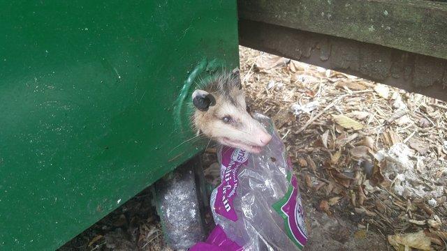 Голодный опоссум залез в мусорный бак, чтобы найти еду, но с ним случилась беда...
