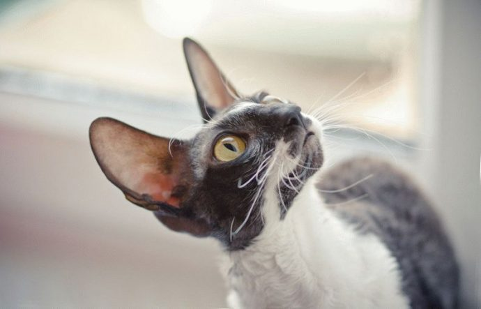 Кошка-корниш-рекс-фото