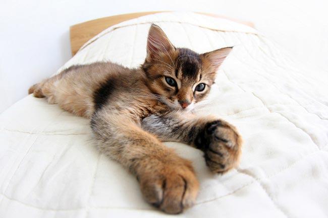 Сомалийская кошка (Somali cat) 3