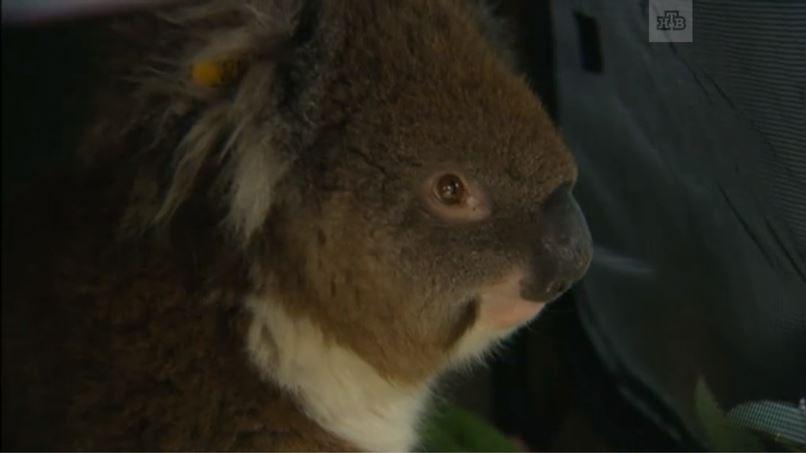 Кормящая коала проехала 16 км в колесе автомобиля! Но ничего - жива, здорова, не обиделась! :)