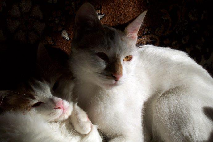 Анатолийская кошка (Anatolian cat) 5