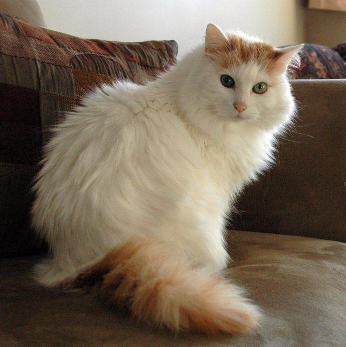 Анатолийская кошка (Anatolian cat) 4
