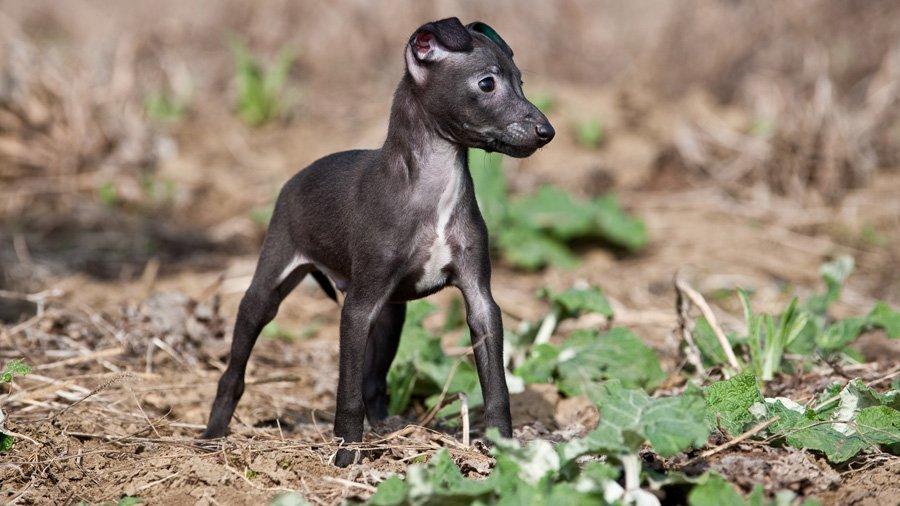 Левретка (Levrette) щенок