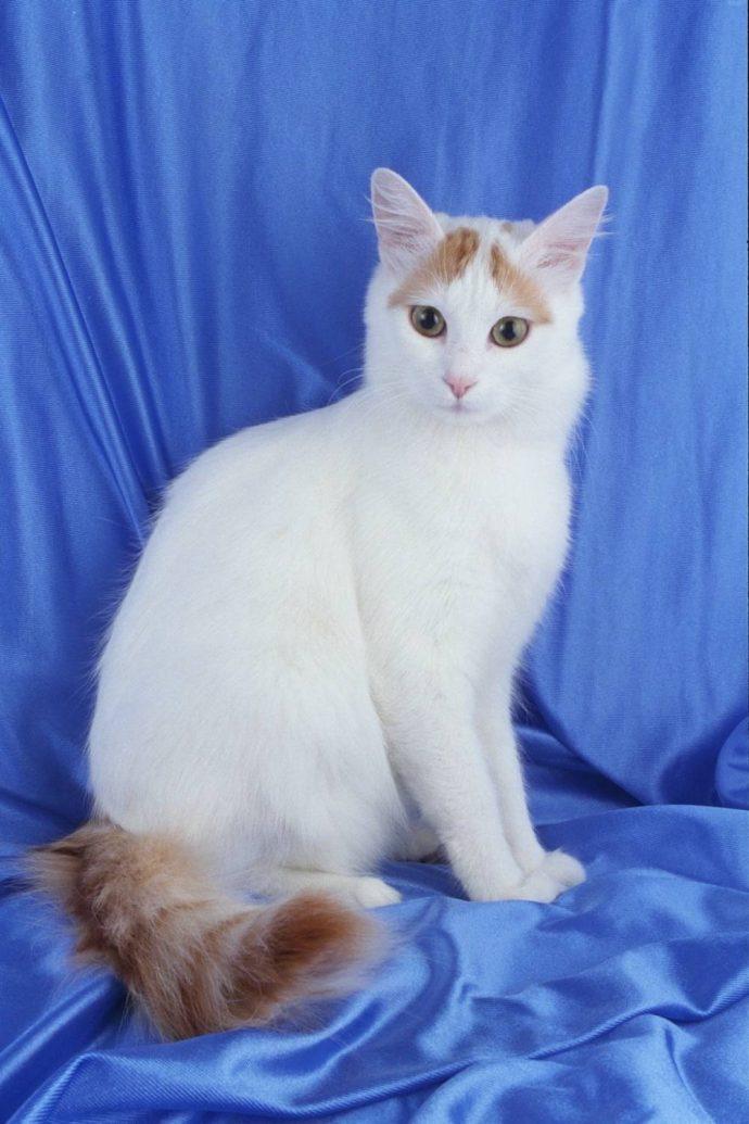 Анатолийская кошка (Anatolian cat) 3