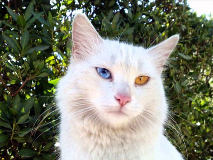 Анатолийская кошка (Anatolian cat)