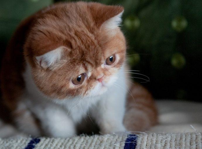 19-Бело-рыжий кот породы экзот