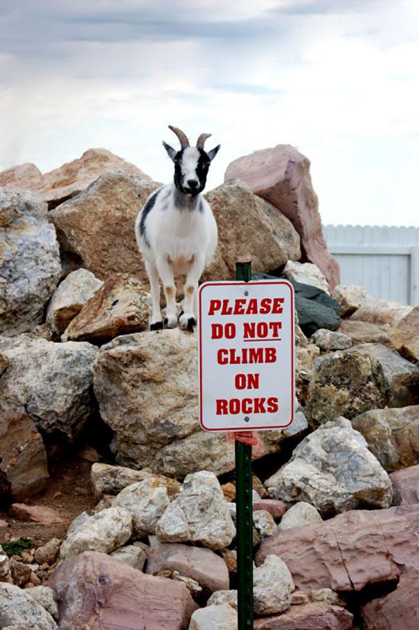 Настоящие бунтари! Животные, которым плевать на придуманные людьми правила! :) рис 25