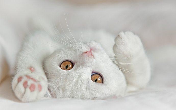 Британская белая короткошерстная кошка (British Shorthair cat)