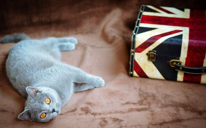 Британская короткошерстная кошка (British Shorthair cat) 3