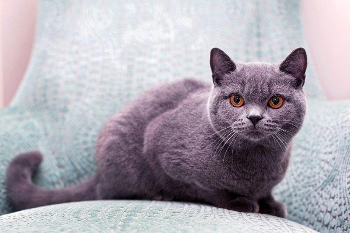 Британская короткошерстная кошка (British Shorthair cat) 4