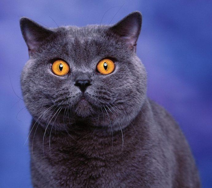 Британская короткошерстная кошка (British Shorthair cat) 2
