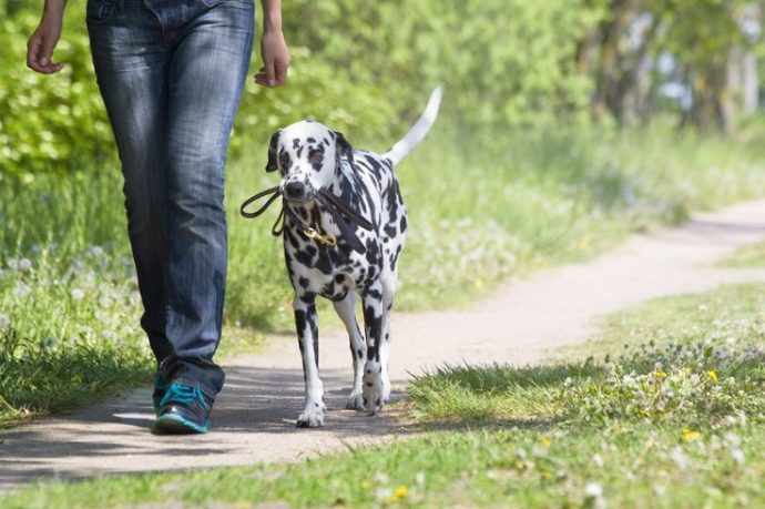dog walking with the owner -- they are te best friends