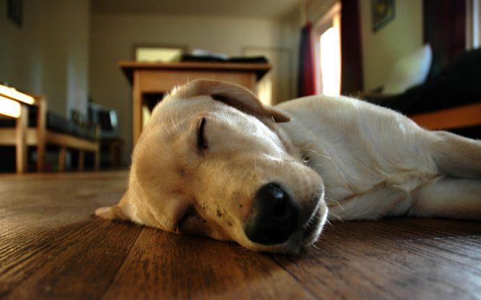 Animals___Dogs_The_dog_sleeps_on_the_floor_078668_