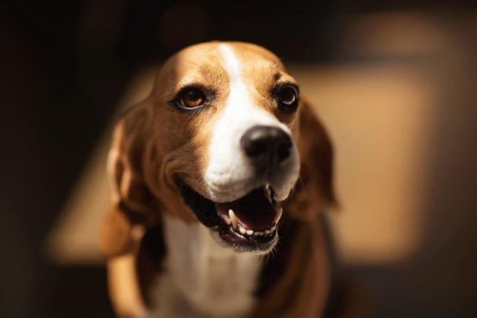 Beagle рис 2