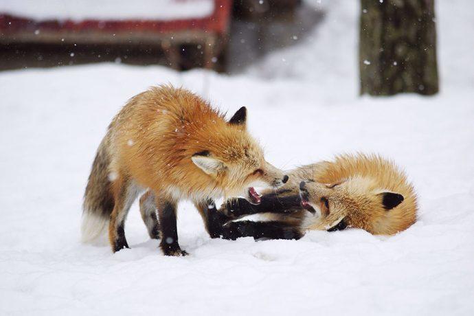 FoxVillage14