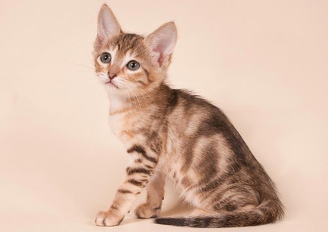 Сококе (Sokoke) котенок