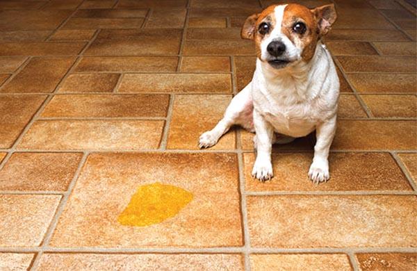 W-dog_urine_in_house