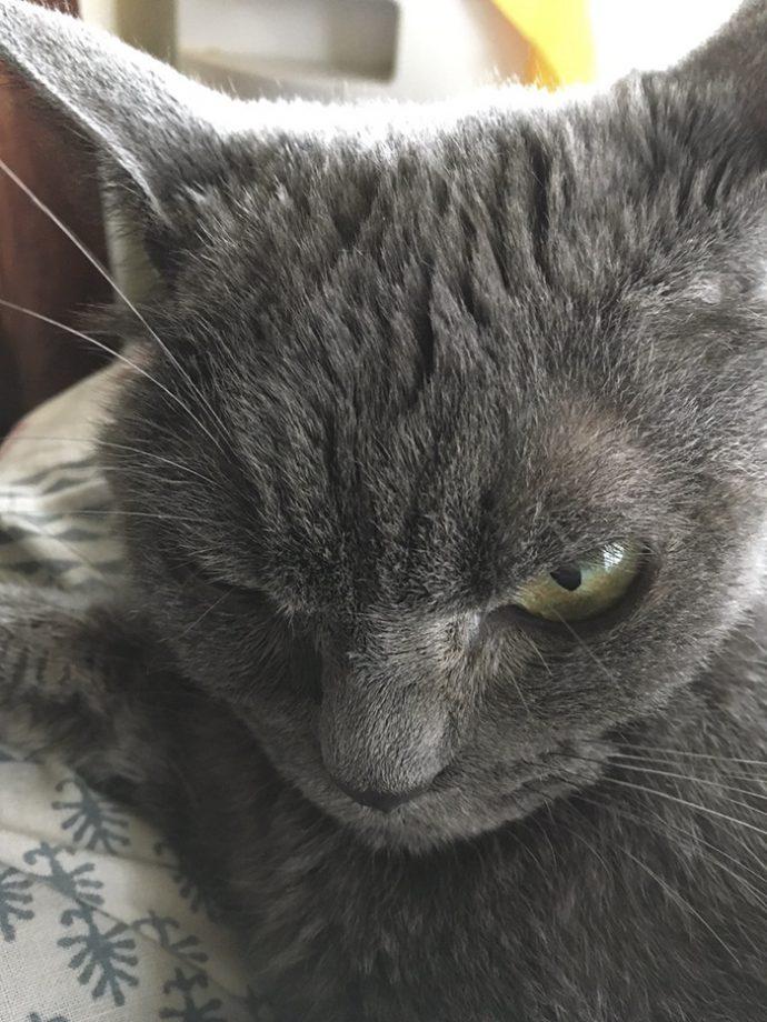 always-angry-cat-Shamo-15-59afa0a829a87__700