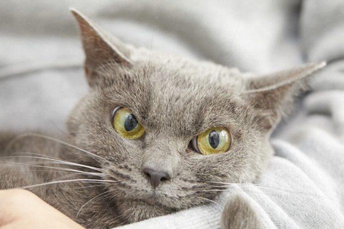 always-angry-cat-Shamo-18-59afa0ae868d5__700