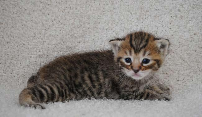 Пиксибоб (Pixie-bob) котенок