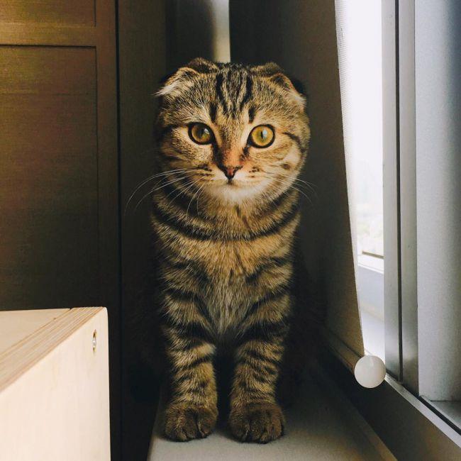 Шотландская вислоухая кошка (Скоттиш-фолд / Scottish Fold) 3