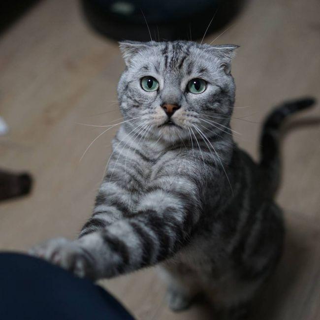 Шотландская вислоухая кошка (Скоттиш-фолд / Scottish Fold) 4