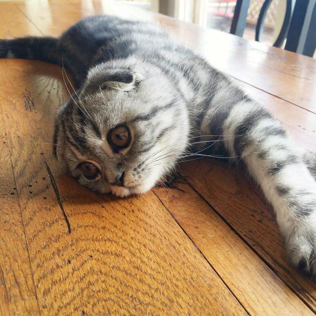 Шотландская вислоухая кошка (Скоттиш-фолд / Scottish Fold)