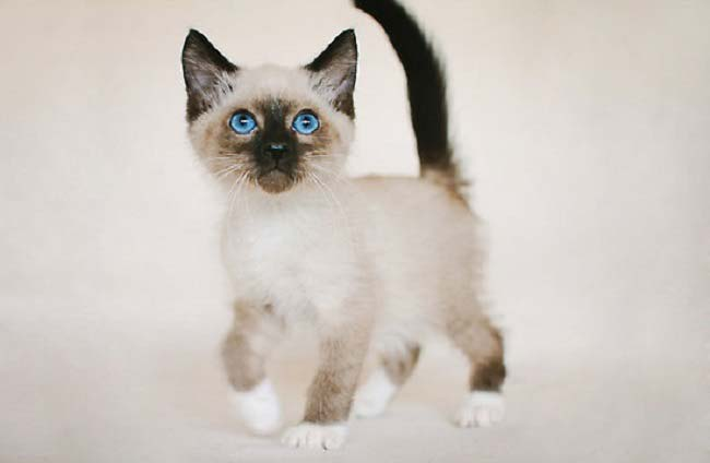 snowshoe-kitty