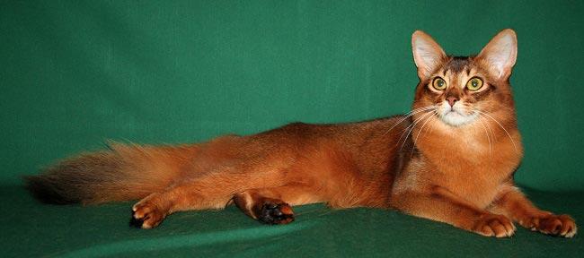Сомалийская кошка (Somali cat) 2