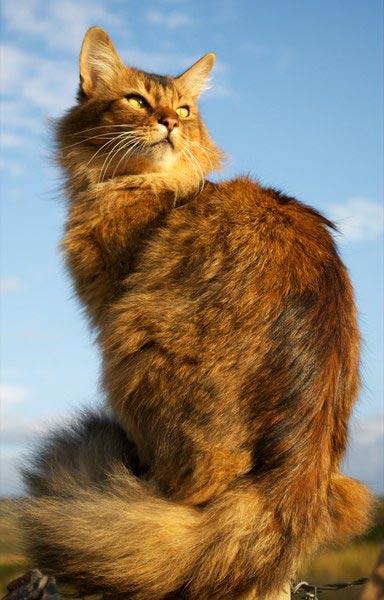 Сомалийская кошка (Somali cat) 4